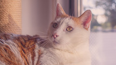 Willow (No_Water) Tags: red orange brown white cute cat tiger willow