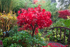 Fiery red foliage of Acer palmatum 'Osakazuki' in autumn (Four Seasons Garden) Tags: uk autumn red england leaves garden four seasons foliage acer fiery walsall palmatum osakazuki fourseasonsgarden