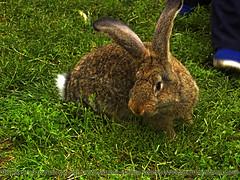 (cod_gabriel) Tags: rabbit coelho lapin kaninchen coniglio ウサギ кролик ארנב κουνέλι iepure kelinci أرنب खरगोश urecheat
