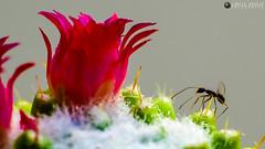 Formiga e Flor (Camilo Arajo) Tags: flor cactos insetos antz formiga flres