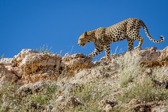 Kgalagadi Leopard ([[BIOSPHERE]]) Tags: cat southafrica big spots leopard kalahari big5 kgalagadi