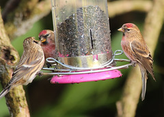 oi you two get a room!! (Dawn Porter) Tags: bird somerset redpoll