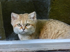 Sand Cat (fkalltheway) Tags: cat sandcat hoglezoo fkalltheway