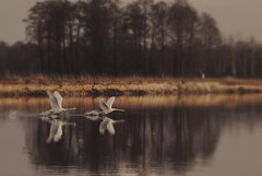 Swans (mademoiselle.chaos) Tags: nature water birds animals landscape spring swans