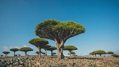 Left my heart in Socotra. (Lomoody) Tags: travel blue tree green blood nikon dragon heart east arabia yemen middle d610 socotra