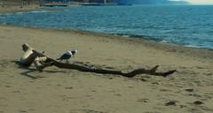 Silver Beach (tquist24) Tags: lake beach st silver joseph sand nikon michigan seagull lakemichigan driftwood coolpix silverbeach stjosephmichigan aw100 nikoncoolpixaw100