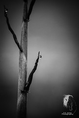 Simplistic B&W ( S. D. 2010 Photography) Tags: blackandwhite bw abstract macro water rain leaf bokeh bamboo dew single simple sprout enhanced detailed infocus simplistic upclosedetail adobelightrooom5