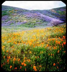 Antelope Valley 363 (Susan Liepa) Tags: california flowers flower unitedstates lakeelizabeth poppies wildflowers antelopevalley lakehughes flowerwatcher