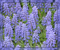 """""""No matter how bad it is, a mother will always forgive and love you unconditionally"""" (ellenc995) Tags: flowers blue friends love mothersday naturesfinest coth supershot fantasticnature akob abigfave citrit rubyphotographer 100commentgroup alittlebeauty challengeclub coth5 hennysgardens naturallywonderful ruby10 ruby5 ruby15 thesunshinegroup sunrays5 challengeclubchampion"""