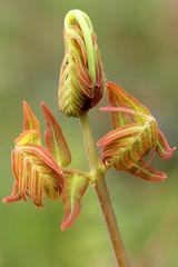 Unfurling (cheryl.rose83) Tags: fern