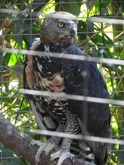 Crowned eagle (pastough) Tags: california sandiego sandiegozoo crownedeagle stephanoaetuscoronatus may2014