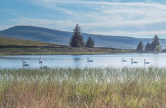 Nine swans (bill lowis) Tags: water lakes hills swans greenbell tarns