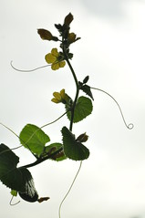 Melon flowers (beazambuja) Tags: flores flower folhas leaves silhouette tendril melon silhueta melo gavinha