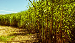 Sugar Curve (Chill Mimi) Tags: nature landscape curves newsouthwales grasses paths sugarcane sugarcanefields
