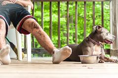 Dora & Anthony (IG: @GGWUZHERE) Tags: new york rescue dog newyork love puppy focus upstate pitbull bond pup bully cuties bluenose pibble nybc newyorkbullycrew