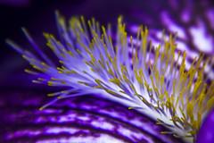Flower (M$ingh.) Tags: trees plants flower macro nature closeup nikon wildlife anthers flowerbud japaneseiris irisensata d7100