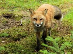 Red Fox (Karen_Chappell) Tags: mammal animal fox redfox orange nature salmoniernaturepark newfoundland nfld avalonpeninsula green canada atlanticcanada