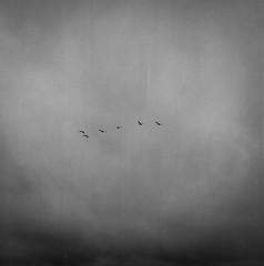 Birds 2 (markorsr) Tags: birds bronica sqa mediumformat xtol trix sky murky