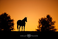 shelleypaulson_2009-344 (Shelley Paulson) Tags: equine horse kentucky silhouette sunset thoroughbred trees