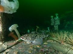 (zlatkarp) Tags: diving scuba underwater nanaimo wreck green cold water fish ling cod hmcssaskatchewan