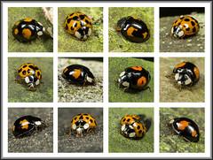 Lots of Ladybirds (Ed Phillips 01) Tags: harmonia axyridis harlequin ladybird ladybug insect macro mpe staffordshire