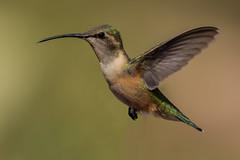 Female Lucifer Hummingbird (Calothorax lucifer) - Ash Canyon in Hereford, AZ (bcbirdergirl) Tags: luciferhummingbird calothoraxlucifer female arizona usa az ashcanyon ashcanyonbb sierravista rare hereford