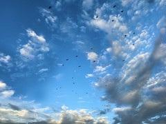(MacroMarcie) Tags: iphone7 iphone7plus iphone iphonography composite photoshop postprocessing birds crows clouds tgif friday macromarcie haiku poetry