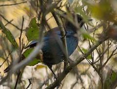 Steller's Jay (Cyanocitta stelleri) (ekroc101) Tags: birds stellersjay cyanocittastelleri bc tofino pacificrimnationalpark