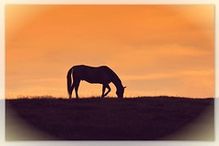 A Time for Grace (dianealdrich - Please read my profile) Tags: silhouettephotography silhouette pony horse beautiful scene hilltop hill grazing