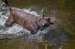 Brandysnapbabe (BecPotts) Tags: outdoor chocolate labrador brown splash water river tree rivertanat chocolatelabrador fetch dog wet swimming branch pet furbaby shake