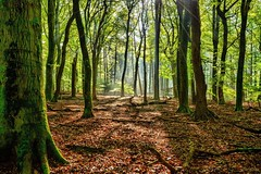 Towards the light (Jaco Verheul) Tags: trees tree wood bos light moss nikon nikond7100 d7100 jacoverheul 1685mm outdoor green sky hdr nature landscape fall autumn holland thenetherlands speulderbos veluwe leave trunk noperson path serene forest park trail