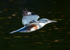 Vancouver 11Oct16.06 (Pervez 183A) Tags: kingfisher greybelted ambleside birds vancouver bc canada