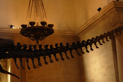 Cola_5375 (Omar Omar) Tags: d40 nikond40 50mmlens 50mm 50milimetros 50millimeters playingwith50mm playingwith50millimeteres jugandocon50milimetros joueravec50mm nhm naturalhistorymuseum museumofnaturalhistory histoirenaturel museum muse museo losangeles losngeles losangelesca losngelescalifornia la california californie usa usofa etatsunis usono expopark expositionpark dinosaur dinosaurio coladedinosaurio dinosaurtail