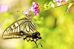 Female+Asian+Swallowtail+on+Small+Flower+%3A+%E5%90%B8%E8%9C%9C%E4%B8%AD%E3%81%AE%E3%83%8A%E3%83%9F%E3%82%A2%E3%82%B2%E3%83%8F%28%E2%99%80%EF%BC%89