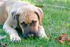 Charlie Brown (c.macp) Tags: dog englishmastiff puppy eyes cute
