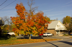 Red Hot Tree (rumimume) Tags: potd rumimume 2016 niagara ontario canada photo canon 550d t2i sigma fall autumn outdoor leyaf leaves red yellow tree sk