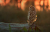 Bengal Eagle Owl (Zahoor-Salmi) Tags: zahoorsalmi salmi wildlife pakistan wwf nature natural canon birds watch animals bbc flickr google discovery chanals tv lens camera 7d mark 2 beutty photo macro action walpapers bhalwal punjab