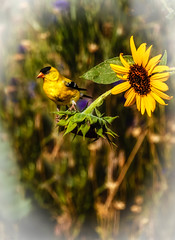 The American Goldfinch (http://fineartamerica.com/profiles/robert-bales.ht) Tags: birds forupload goldfinch haybales idaho people photo places projects salmonarea states male yellow birdwatching wildlife nature perch songbird spring black bird plumage branch american canada americangoldfinch ornithology avian wild perched animal migrations migrant feathered passerine unitedstates woodland america song whitewingbars northamerica wildbird vivid finch feathers flower gold birder beauty natural wilderness backyard perching robertbales vignette