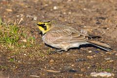 Shorelark (AndyB@darleyD) Tags: shorelark hornedlark larks