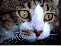 2007- Atari (teresamarkos) Tags: atari cat cats kitten kittens felines feline