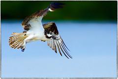 Osprey (reprocessed) (RKop) Tags: a77mk2 600mmf4apogminolta florida raphaelkopanphotography jndaringwildliferefuge sony wildlife
