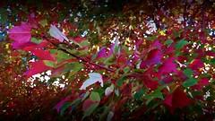 Magenta Autumn (MissyPenny) Tags: usa pennsylvania pdlaich leaves bristolpennsylvania branches tree painterly magenta