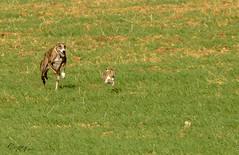 Cristobal-161027-0125.jpg (Cristobal1062) Tags: velocidad galgos liebres belleza greuhound caza dog chien levrier aire libre