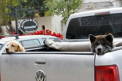 Bariloche (Vicky Victoria Yan) Tags: perro bariloche patagonia argentina dog animals bernardo san doglover lovedogs cute cutie