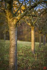 Obstwiese im Sonnenuntergang (blattboldt) Tags: jena weidenberg obstwiese thuringiagermany thringen zeiss sony baum bume tree trees sonne sun sonnenuntergang sunray batis1885 emount batis85mmf18 alpha7m2 ilce7m2 baumstamm trunk    fruitmeadow  1111v11f unschrfe lichtundschatten baumrinde borke