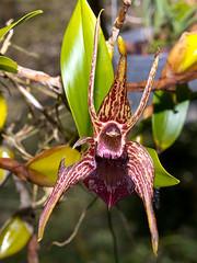 Epigeneium coelogyne (Eerika Schulz) Tags: gorn thailand orchidee orchid epigeneium coelogyne eerika schulz