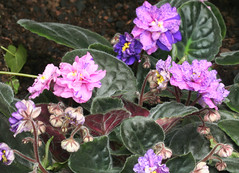 27-IMG_4762 (hemingwayfoto) Tags: berggartenhannover blhen blte blume flora floristik natur topfpflanze usambara usambaraveilchencathedral veilchen zierpflanze zuchtform