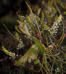 Fasciation on Grevillea intricata, Kings Park, Perth, WA, 02/09/16 (Russell Cumming) Tags: fasciation plant grevillea grevilleaintricata proteaceae kingspark perth westernaustralia