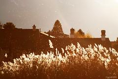 Vent et soleil sur les roseaux (Lesud07) Tags: vent wind soleil sun roseaux reeds