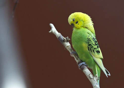 parakeet pruning itself